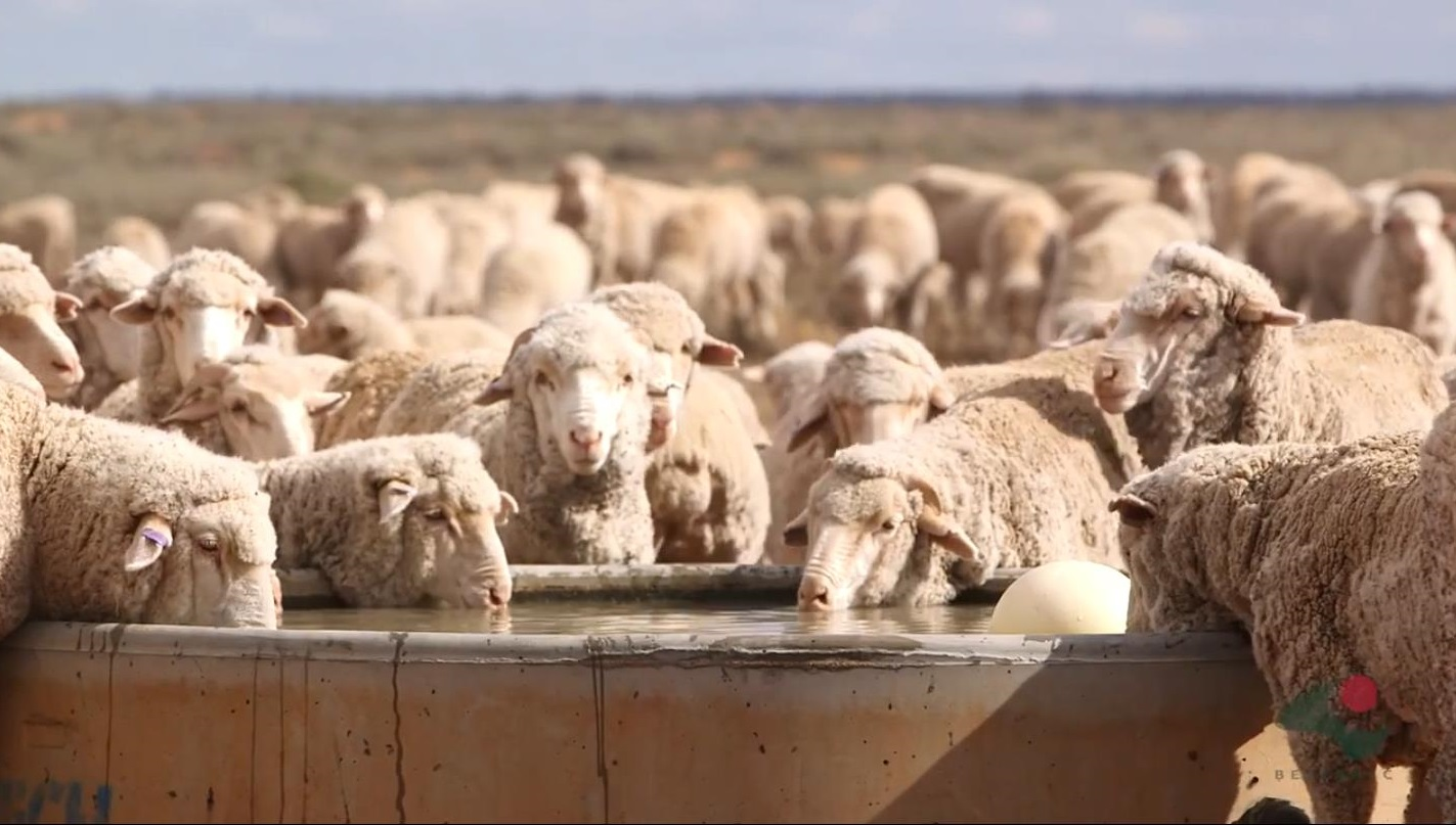 Sheep at centre watering point
