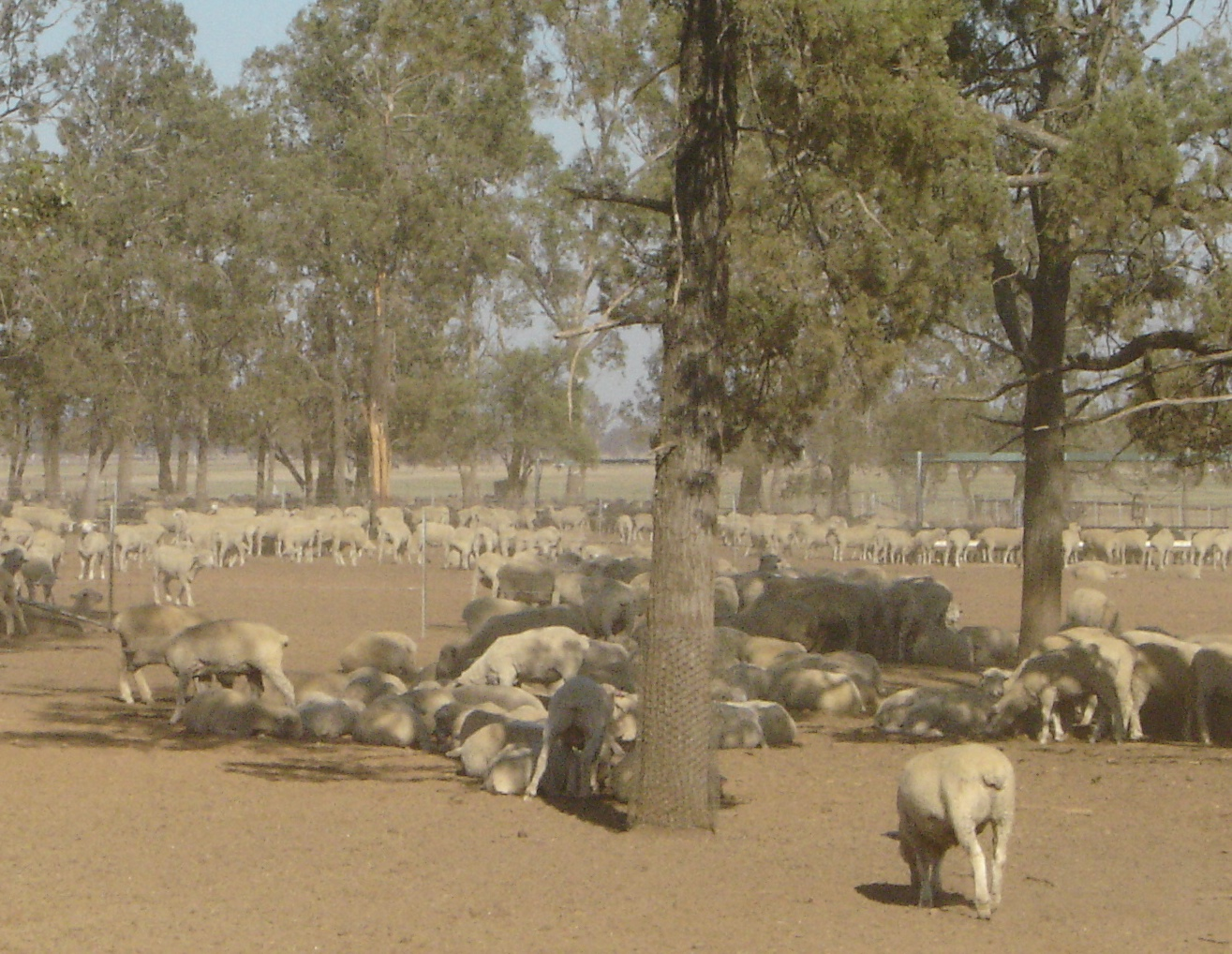 Sheep in weaning pens on James Robertson's property