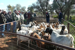 Goat Information day at 'Orana' station