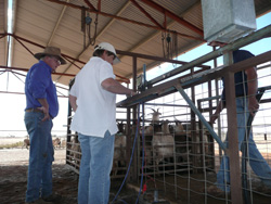 Rick and Joanne Gates drafting a consignment of goats in the main trucking yards. These yards are covered and watered using a sprinkler system.