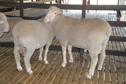GENETICS: Selecting plain bodied rams with good performance in key criteria such as fleece weight and micron can assist.
