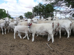 Another way of stopping the jackals taking lambs – placing bells on one lead sheep in the mob.  These mixed age white dorper ewes were lambing in small, irrigated paddocks close to a house to reduce the risk of lamb loss by jackals.