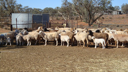 A selection of the dorper x damara ewes Gary is using to achieve high lambing percentages