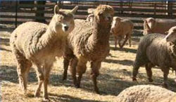 In the yards: Peter Sheehan says bringing the alpacas into the yards with the sheep is important to maintain bonding.
